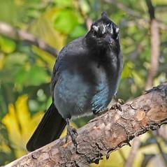 CAE007336a (jerryoldenettel) Tags: 171101 2017 corvidae cyanocitta cyanocittastelleri jay luislopez nm passeriformes socorroco stellersjay bird corvid passerine