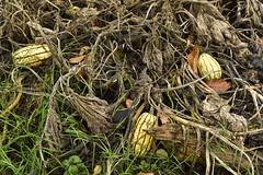 Potirons dans les branchages entrelacés (Flikkersteph -5,000,000 views ,thank you!) Tags: botanicalgarden vegetables pumpkins nature wet mud lawn vegetation foliage autumn meise belgium