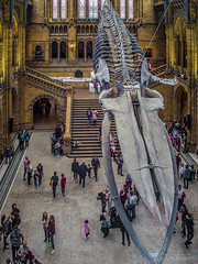 There's Hope (II) (Hamburg PORTography) Tags: blue whale hope blauwal natural history museum london uk england gb hintze hall 2017 hoonose68 sgrossien grossien rmc tokina 24mm 128 minolta md mount quenox focal reducer sr fuji xmount fujifilm xe1 adapted adapter lens objektiv focalreducer manual againstautotagging