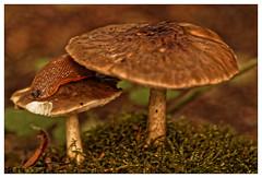 Apéro sous le parasol (Jean-Marie Lison) Tags: eos80d bruxelles auderghem rougecloître forêtdesoignes champignons limace mousse