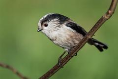 Long Tailed Tit (PINNACLE PHOTO) Tags: aegithaloscaudatus longtailedtit tit smallbird grey pink wild wildlife surrey uk