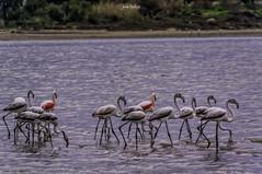Flamingos (iosif.michael) Tags: sony a55 sigma saltlake larnaca animals birds water cyprus