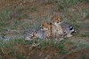 Affectionate Cheetah Cubs around sunset (cirdantravels (Fons Buts)) Tags: cheetah acinonyx jachtluipaard gepard guépard feline carnivore carnivoria bigcat coth5