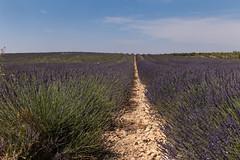 Route de Manosque - Valensole (France) (Meteorry) Tags: europe france côted'azur paca alpesdehauteprovence valensole plateaudevalensole lavender lavande purple violet domainelesgrandesmarges routedemanosque june 2017 meteorry