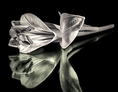 Mono lily reflection. (Ray Duffill) Tags: blackandwhite monochrome flower lily reflection bloom creativetabletop