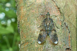 Planthopper (Dichoptera sp.), Singapore