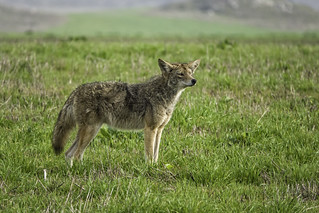 Coyote on the Grass