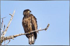 _B081183 (geelog) Tags: alberta baldeagle bowriver calgary fishcreekpark winter