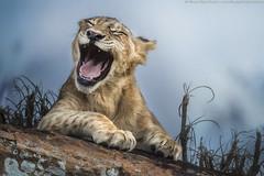 Ahahahaha (Alberto Ghizzi Panizza) Tags: cub lion loughing africa kenya