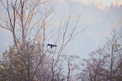 Atterrissage (N'Grid) Tags: cormorant cormoran waterbird oiseau bird tamron tamron150600 tamron150600mm tamron150600mmg2 150600 150600mm canon canon80d 80d faune nature sauvage wildlife