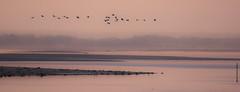 Grues cendrées (Grus grus) Lac du Der (francisaubry) Tags: bird waterbird nikon nikkor 300mm leverdesoleil grue grusgrus nikonflickraward