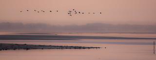 Grues cendrées (Grus grus) Lac du Der