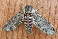 1972-P1120391 Convolvulus Hawk-moth (Agrius convolvuli) (ajmatthehiddenhouse) Tags: stmargaretsatcliffe kent uk 2016 garden moth sphingidae agrius convolvuli agriusconvolvuli convolvulushawkmoth