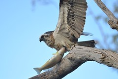 Eastern Osprey (Pandion cristatus) (Neil H Mansfield) Tags: raptor osprey fish fisheater easternosprey pandioncristatus native australian camdenhaven