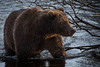 Kodiak Bear Sow (wyrickodiak_9) Tags: kodiak alaska brown bear grizzly sow cubs fishing river island mammal wildlife apex predator