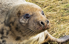Common Seal (boogie1670) Tags: canon7dmarkii canon sigma 150600mm sports lens ngc mammals common seal donna nook lincolnshire wildlife britishbirds sea life