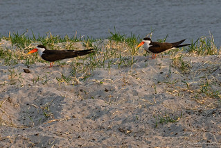 The near threatened African Skimmer