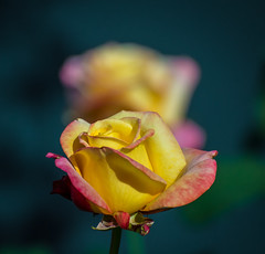 POV in the garden. (Omygodtom) Tags: flower flickr rose selectivefocus pov dof digital d7100 garden google yellow red green kitlens nikon18105vrlens sunshine shadow shade macro macrodreams bokeh