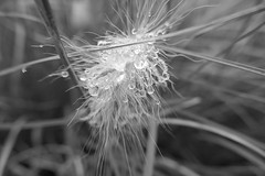 Raindrops on filaments - Pennisetum villosum - Poaceae (Monceau) Tags: poaceae raindrops grass jardindesplantes blackandwhite monochrome bokeh macro squiggly strands