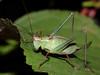 La Leptophye ponctuée ou sauterelle ponctuée ou Barbitiste très ponctué (Leptophyses punctatissima) - Femelle (Didier Auberget Photographie) Tags: macro insecta insecte orthoptera orthoptère neoptera néoptère tettigoniidae tettigonioidea sauterelle grasshopper pterygota ensifera gryllidea phaneropterinae barbitistini leptophyes leptophyeponctuée sauterelleponctuée leptophysespunctatissima speckledbushcricket barbitistetrèsponctué