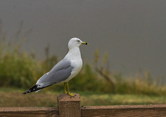 Ringed-Bill Gull_MG_0026RI (918monty) Tags: gulls ringedbillgulls skydivinggulls acrobaticgulls scavangergulls wildlife birds migratorybirds richardsontexas breckinridgeparkrichardsontexas birdonfence