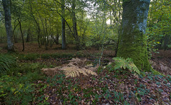 Ferns (Through Bri`s Lens) Tags: sussex ferns spithandellane ahshurst forest autumn trees fallcolours autumncolours brianspicer canon5dmk3 canon1635f4 polariser