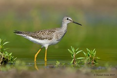 Lesser Yellowlegs (Explored 11/16/17) (Danielirons02) Tags: nikond610 nikon300mmf4 nikontc14 nikon fullframe lesseryellowlegs bird photography birding shorebird md queenannescounty queenannescountymd water august2017