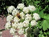 Flowers on the trail (thomasgorman1) Tags: bee insect fly flies bugs trail canon nature canada lake cameron plants pollinating pollination