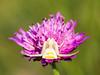 white_death (AnteKante) Tags: grass miniatur mini insekt flower blume insect weis käfer gras grün spinne macro bug blüte stillewelt spider green silentworld white