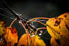 Wet leaves & water droplets - Anderson S.C. (DT's Photo Site - Anderson S.C.) Tags: canon 6d sigma 50mm 14 art lens andersonsc upstate fall foliage leaves water rain dew droplets maple orange yellow spider webs