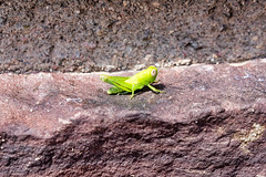 Grasshopper (deepskywim) Tags: dieren sprinkhanen peachsprings arizona unitedstates us