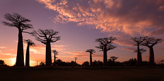 Madagascar, Avenue of the Baobabs (Dietmar Temps) Tags: sky sunset travel light clouds tree beautiful africa scenery baobab antananarivo morondava madagascar alléedesbaobabs outdoor natural tropical dramatic avenue orange malagasy sun forest african iconic color scenic tourism background extraordinary silhouette nature alley environment wideangle panoramic landscape tulear anakao