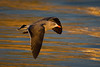 Herrmann's Gull (Eric Gofreed) Tags: california crownpoint gull herrmannsgull sandiego