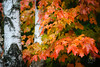 Maple Tree (dennis.brendel) Tags: autumn baum canada carlzeissjenasonnar35135 herbst indiansummer legacylens parcnationaldumonttremblant pflanzen plants québec sonyalpha7ii tree
