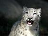 Radiant Beauty (greekgal.esm) Tags: snowleopard pantherauncia leopard cub bigcat cat feline animal mammal carnivore babyanimal marai losangeleszoo lazoo losangeles griffithpark california sony rx10m3 rx10iii