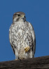 Prairie Falcon (cindyslater) Tags: wildlife bird goldenvalleyaz sky arizona prairiefalcon animal cindyslater falcon