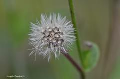 ... sono pronta per affidare i miei acheni al vento (Plebejus argus) Tags: aspraggine picrisechioides compositae acheni erbecommestibili orto montilepini lazio italia frutti semi