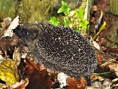Hedgehog (howell.davies) Tags: hedgehog hibernation animal wild wildlife boar sow leaves leaf autumn november hendy wales uk nikon d3200 55200mm