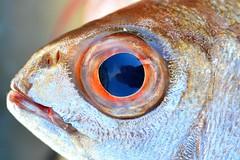 Fisheye (FrancBerto) Tags: pesce fish eye occhio riflesso reflection