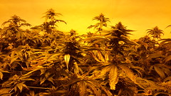 20150512_095137 (CannaPsy) Tags: hydroponics flood drain indoor medical cannabis marijuana weed horticulture high pressure sodium hps og