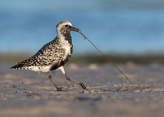 Beach Battle (PeterBrannon) Tags: bird blackbelliedplover florida nature northbeach pluvialissquatarola shorebird wildlife winterplumage funny plover pulling worm