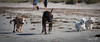 2017 - 11_25 - Animals - Dogs - Rat_Pack 05 (stevenlazar) Tags: beach ocean water australia dog outerharbor adelaide sand 2017 southaustralia waves