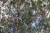 2017 Sydney: 7DWF Why Do I take Pictures? (dominotic) Tags: 2017 garden tree gumtree jacarandatree 7dwf crazytuesdaytheme whydoyoutakepictures purple green bluesky sydney australia