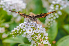 dreaming of summertime (I was blind now I see!) Tags: butterfly red admiral redadmiral white flower whiteflower summer summertime feeding pollen pollenation nature beauty