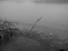 lonesome grass (jondewi52) Tags: black blackandwhite cold creek frozen fjällsjö grass ice jämtland landscape monochrome nature norrland nofilter nophotoshop outdoor outdoors plant river riverbank winter water