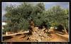 10-17 1643A_KRETA (werner_austria) Tags: kreta voùves gramvoùsa olivenbaum schafe esel griechenland ältesterolivenbaumderwelt