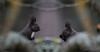 KUS_9493 (Weinstöckle) Tags: eichhörnchen spiegelung