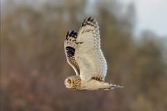 Short-eared owl UB2A4616_edited-1 (paulcoltman) Tags: shortearedowl asioflammeus