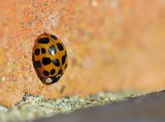 Ladybird Butt! (RiverCrouchWalker) Tags: ladybird insect invertebrate sunbathing brick wall beautifulbugbuttthursday november autumn 2017 southwoodhamferrers essex