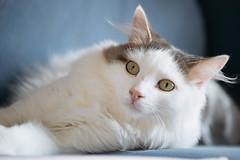 327/365 (Garen M.) Tags: dogs chip buttercup turkishvan cats nikond850 antics vans nikkor105mmf28macro jojo jerry ella